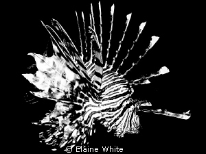 Lion fish converted to black &amp; white in Lightroom by Elaine White 